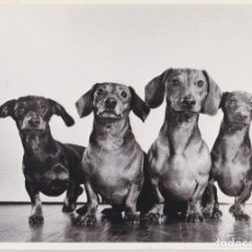 Postales: POSTAL ANIMALES, PERROS DACHSHUNDS – PHOTOGRAPH BY YLLA – S/C. Lote 217882063