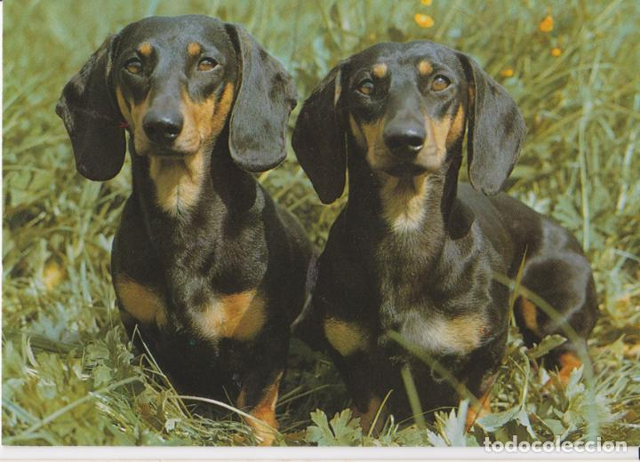 POSTAL ANIMALES, PERROS DACHSHUNDS – PRINTED IN GERMANY 3915 – S/C (Postales - Postales Temáticas - Animales)