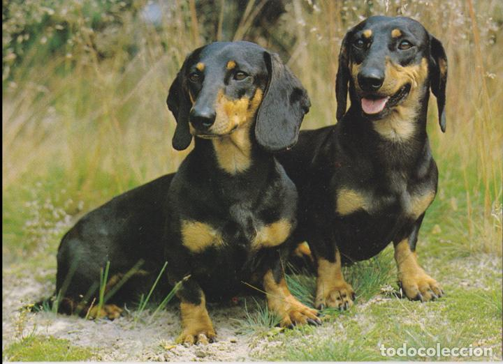 POSTAL ANIMALES, PERROS DACHSHUNDS – PRINTED IN GERMANY 3918 – S/C (Postales - Postales Temáticas - Animales)