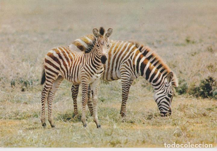 FAUNA AFRICANA, ZEBRAS - EDITIONS HOA-QUI Nº4291 - S/C (Postales - Postales Temáticas - Animales)