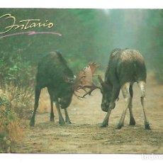 Postales: ALCES SALVAJES -POSTAL GRANDE - DE ONTARIO - CANADA. Lote 221697578