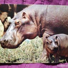 Postales: ESTE DE ÁFRICA HIPOPÓTAMO Y HIJO. Lote 221849467