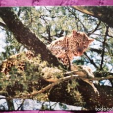 Postales: AFRICAN WILD LIFE LEOPARD. Lote 221849492
