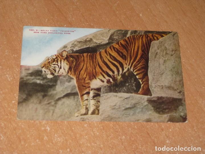 POSTAL DE MALAY TIGER PRINCETON (Postales - Postales Temáticas - Animales)