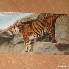 Postales: POSTAL DE MALAY TIGER PRINCETON. Lote 222468971