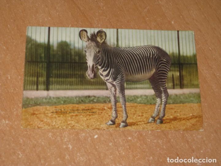 POSTAL DE GREVEY ZEBRA (Postales - Postales Temáticas - Animales)