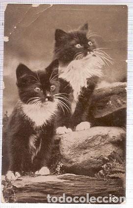 GRAN BRETANA & CIRCULADO, GATOS, RIPON 1915 (6055) (Postales - Postales Temáticas - Animales)