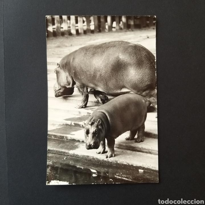 POSTAL ANTIGUA HUNGRÍA BUDAPEST ZOO HU001 (Postales - Postales Temáticas - Animales)