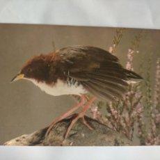 Postales: ANTIGUA POSTAL AVES PAJAROS ORINITOLOGIA - LA DE LA FOTO - RALLO. Lote 256137255