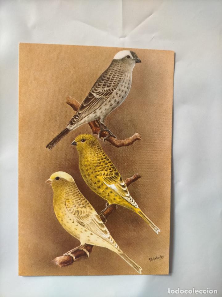 ANTIGUA POSTAL AVES PAJAROS ORINITOLOGIA - LA DE LA FOTO - CANARIOS CANARIS LIZARD (Postales - Postales Temáticas - Animales)