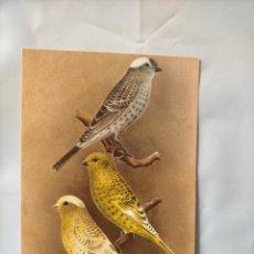 Postales: ANTIGUA POSTAL AVES PAJAROS ORINITOLOGIA - LA DE LA FOTO - CANARIOS CANARIS LIZARD. Lote 256139670