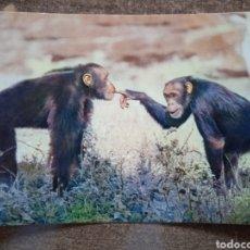 Postales: POSTAL FAUNA AFRICANA-CHIMPANCES. SIN CIRCULAR.. Lote 262019940