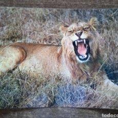 Postales: POSTAL FAUNA AFRICANA-LEON.SIN CIRCULAR.. Lote 262019965