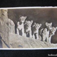 Postales: LEONES-FOTOGRAFICA-POSTAL ANTIGUA-(80.550). Lote 262625960