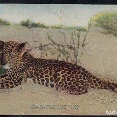 Postales: INDIAN LEOPARD CUB. NEW YORK ZOOLOGICAL PARK 2080 B. / CACHORRO DE LEOPARDO INDIO. ZOO DE NUEVA YORK. Lote 270091523