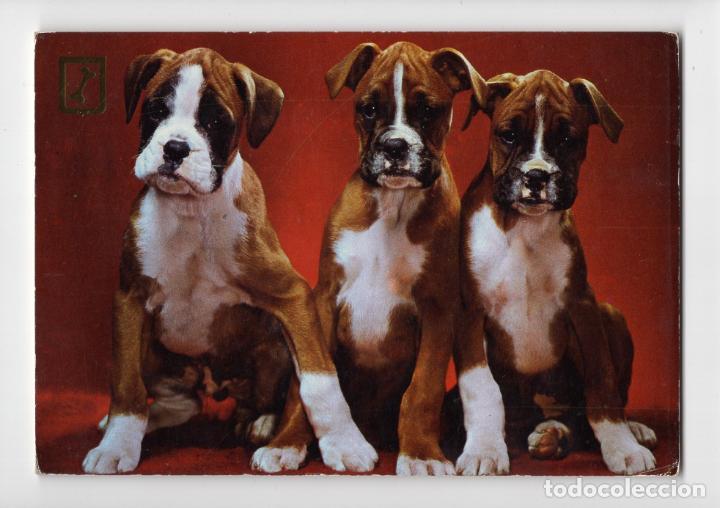 CACHORROS DE BOXER ♦ ESCUDO DE ORO, 1975 (Postales - Postales Temáticas - Animales)