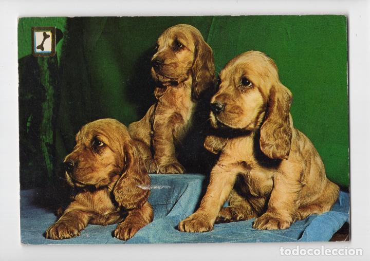 CACHORROS DE COCKER SPANIEL ♦ ESCUDO DE ORO, 1974 (Postales - Postales Temáticas - Animales)