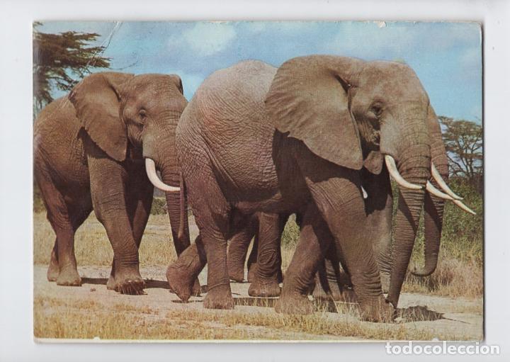 IMPRESIONANTES ELEFANTES AFRICANOS, KENYA (Postales - Postales Temáticas - Animales)