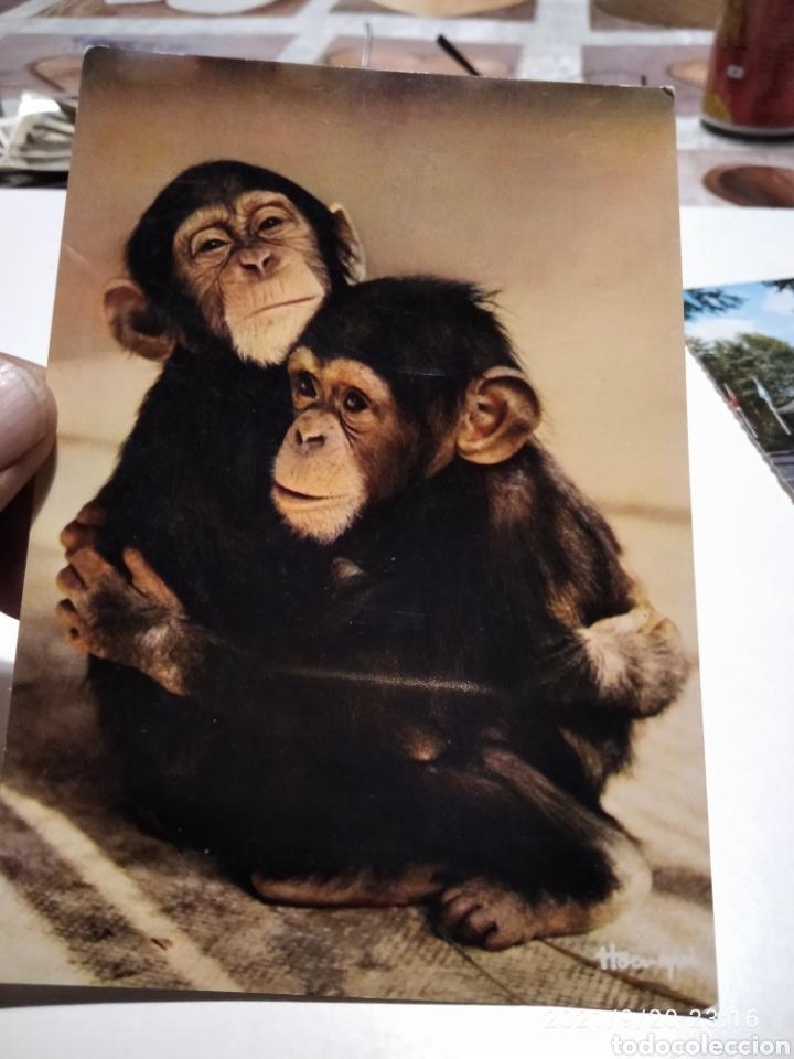 POSTAL MONOS (Postales - Postales Temáticas - Animales)