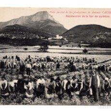 Postales: HUESCA, JACA.- VISTA PARCIAL DE PLANTACIONES DE ANTONIO CAUBET. RECOLECCION DE LA FLOR DE PYRÈTHRE. Lote 122230531