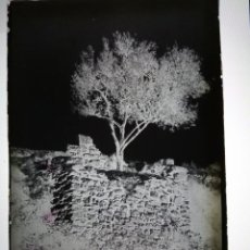 Postales: PERALTA DE LA SAL HUESCA OLIVO SAN JOSE DE CALASANZ ANTIGUO CLICHE NEGATIVO EN CRISTAL. Lote 160195646