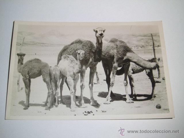 BEDUIN CAMELS.-LEON PHOTO.-JERUSALEM (Postales - Postales Extranjero - Asia)