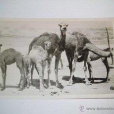 Postales: BEDUIN CAMELS.-LEON PHOTO.-JERUSALEM. Lote 43909924