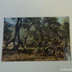 Cartes Postales: MALLORCA OLIVOS MILENARIOS ED AGATA CIRCULADA. Lote 97656607