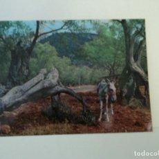 Cartes Postales: MALLORCA OLIVOS MILENARIOS ED A. CAMPAÑA YPUIG. Lote 97657435