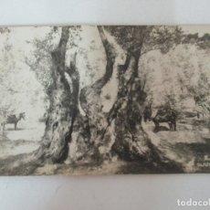 Postales: ANTIGUA POSTAL - OLIVOS - MALLORCA - ISLAS BALEARES - RECOGIENDO ACEITUNAS - TJ - SIN CIRCULAR. Lote 166808498
