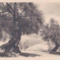 Postales: MALLORCA, OLIVO MILENARIO - FOTO BALEAR, EDICION VISTAS ARTISTICAS, E.ORSINGER - S/C. Lote 260552930
