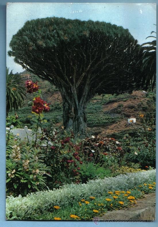 DRAGO MILENARIO. ICOD . TENERIFE (Postales - España - Canarias Moderna (desde 1940))