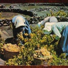 Cartes Postales: ANTIGUA FOTO POSTAL DE LANZAROTE, VENDIMIA - ISLAS CANARIAS - NO CIRCULADA.. Lote 19401569