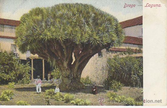 DRAGO.LAGUNA.TENERIFE.POSTAL NO DIVIDIDA.MIRE MAS POSTALES Y COLECCIONISMO EN RASTRILLOPORTOBELLO (Postales - España - Canarias Antigua (hasta 1939))