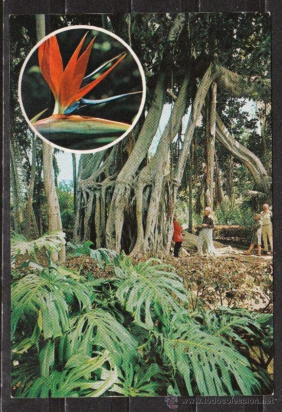 Puerto de la cruz arbol del caucho en el jardi comprar postales de canarias en todocoleccion - El botanico puerto de la cruz ...