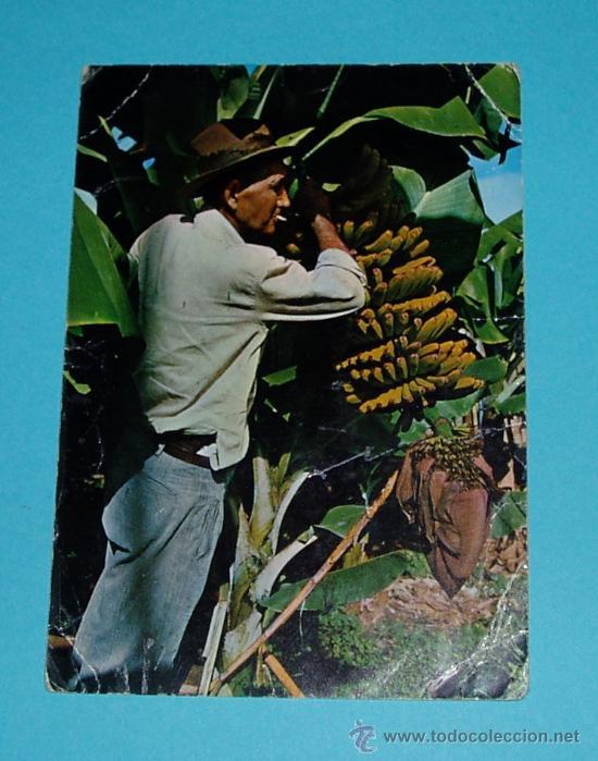 POSTAL ISLAS CANARIAS. Nº 577. CORTE DE PLÁTANOS. EDICIONES RO-FOTOS (Postales - España - Canarias Moderna (desde 1940))