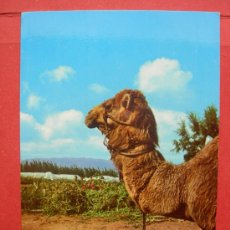 Postales: LAS PALMAS DE GRAN CANARIA. CAMELLO. Lote 29620106