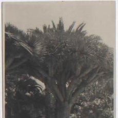 Postales: POSTAL FOTOGRAFICA ARBOL DRAGO EN JARDIN PUBLICO LAS PALMAS GRAN CANARIA. Lote 91324975