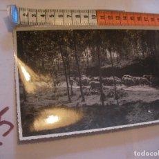 Postales: ANTIGUA FOTO ORIGINAL OVEJAS PASTANDO POR MONTES AÑOS 40 - FOTO A.BENITEZ - ENVIO INCLUIDO A ESPAÑA. Lote 107731639