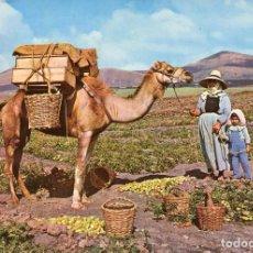 Postales: LANZAROTE-RECOGIDA DE TOMATES-CAMELLO- 1963. Lote 114886171