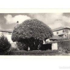 Postales: TENERIFE.(CANARIAS).- DRAGO DEL SEMINARIO LA LAGUNA . FOTOGRAFÍA. Lote 147311782