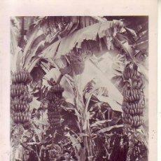 Postales: TENERIFE FOTO BAENA PLATANERAS. Lote 183462415