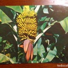 Postales: POSTAL TENERIFE - PIÑA DE PLÁTANO - Nº 1029 - ED. CASTRO - 1983 - SIN USO. Lote 191081441