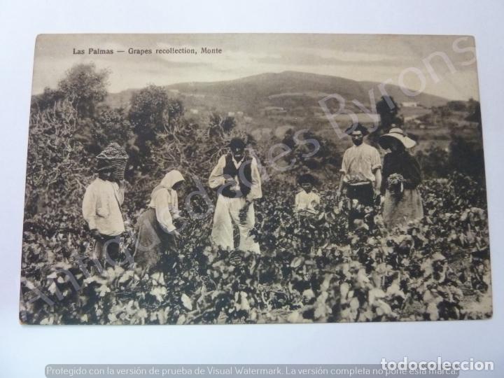 LAS PALMAS. GRAPES RECOLLECTION, MONTE. BAZAR ALEMÁN (Postales - España - Canarias Antigua (hasta 1939))