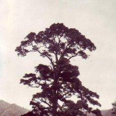 Cartoline: TENERIFE - LA PALMA - EL PASO - PINO DE LA VIRGEN. Lote 196567478