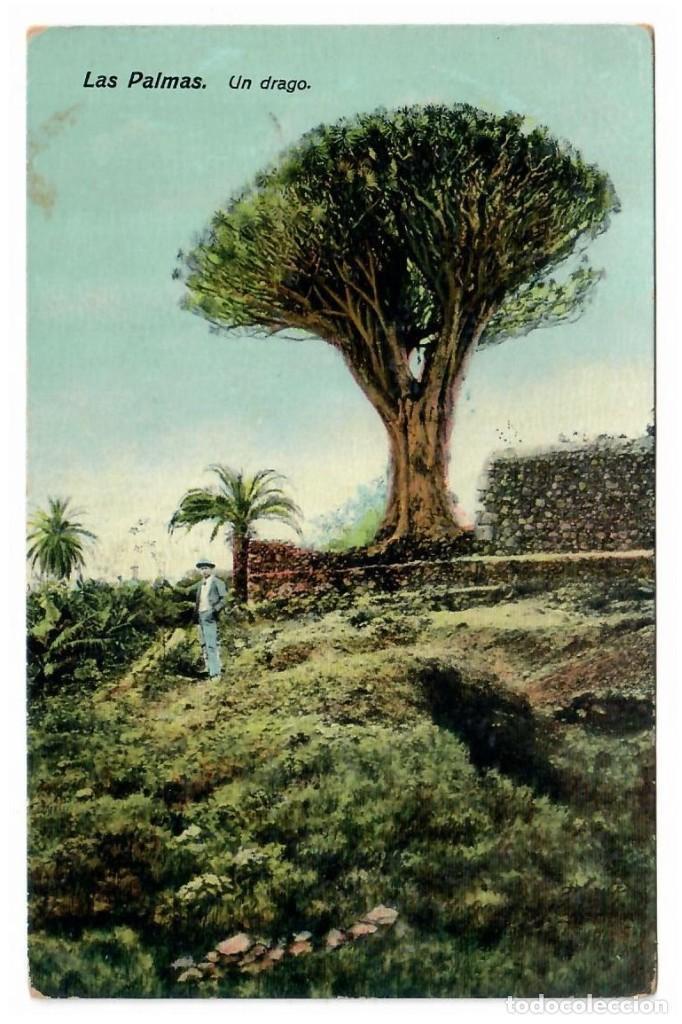 LAS PALMAS - UN DRAGO (Postales - España - Canarias Antigua (hasta 1939))