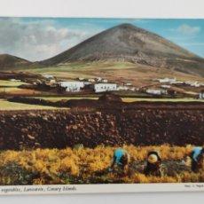 Postales: POSTAL GATHERING VEGETABLES LANZAROTE, CANARY ISLANDS. Lote 245024425