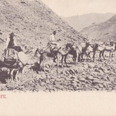 Cartes Postales: TENERIFE, CAMELLOS. NO CONSTA EDITOR. REVERSO SIN DIVIDIR. VER REVERSO. Lote 258175660