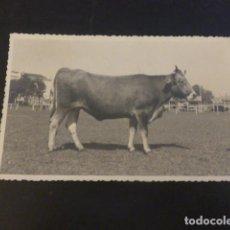 Postales: TORRELAVEGA CANTABRIA FERIA DE GANADOS VACA TUDANCA POSTAL FOTOGRAFICA AÑOS 40 FOTO BUSTAMANTE HURTA. Lote 226217942