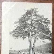 Postales: BERGA. LO PI DE LES TRES BRANQUES. (IMP. CUNILL) CIRCULADA EN 1908. . Lote 104123891
